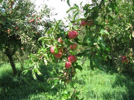 Frische rote Äpfel am Zweig im Obstgarten.